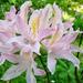 fleur de printemps rose, rhododendron.
