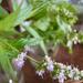 A virag, fleur de basilic, 2020 szeptember