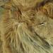 Alvó oroszlán /Szeged