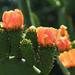 Naracsszínű kaktuszok...