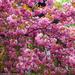 Album - Cseresznye-Tavasz