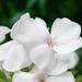 fehér phlox
