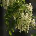 Akácvirág,bodzakísérettel