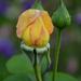 Rózsabimbó