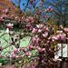 Magnolia (öreg)