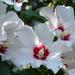 Fehér mályva