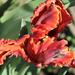 Ez is tulipán