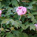 Korai virágzás