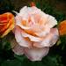 rózsa sorozat 5
