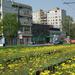 Virágzó villamosvágányok - fotó: Vinczek György