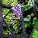 virágzó akác