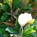 A fikusz virága
