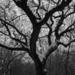 100 éves fa