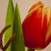 Asztali tulipán
