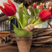 Fabro tulipán