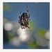 pók-keresztes 006-nd