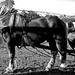 Domaszék lovasnap 016