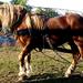 Domaszék lovasnap 018