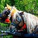 Domaszék lovasnap 035