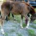 Domaszék lovasnap 073