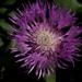 Még egy lila virág