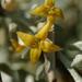 Olajfa virága