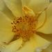Túlnyílott a sárga rózsám