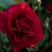 Vörös rózsa reggeli fényben