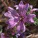 Papsajt virága