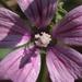 Papsajt virág -közelebbről