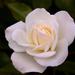 Nyílnak a rózsák No.4