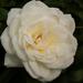 Nyílnak a rózsák No.3