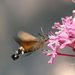 Kacsafarkú szender (Macroglossum stellatarum)