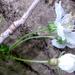Vadcseresznye virágzás