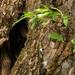 Öreg fűzfa fiatal hajtása