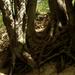 Gyökerek a Gaja patak szurdokában