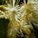 Hárs virág