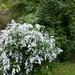 Virágzó bokor az Erzsébet kertben