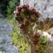 Kövirózsa virágbimbó