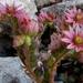 Virágzó kövirózsa