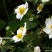Földieper virága