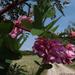 Rózsaszín akác