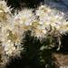 Tollas gyöngyvessző virága