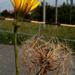 Virágzó és termő bakszakáll