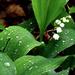 Gyöngyvirág-eső után