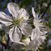 Meggyfavirág