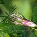 Varjúmákvirág