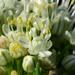 Hagymavirágok