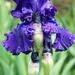 Lila-kék szépség