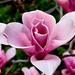 Virágszirom 2